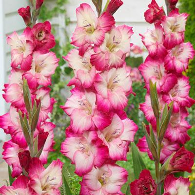 Gladiolus Shanna