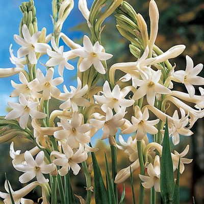 Single Mexican Tuberose
