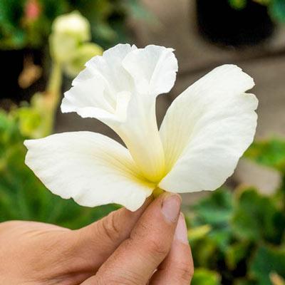 Daffodil Begonia White