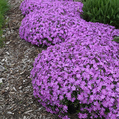 Ground Cover Phlox Bedazzled Pink