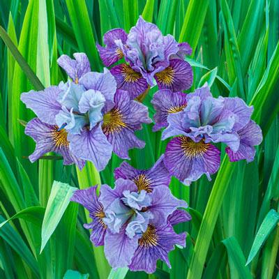 Siberian Iris Mad Hat
