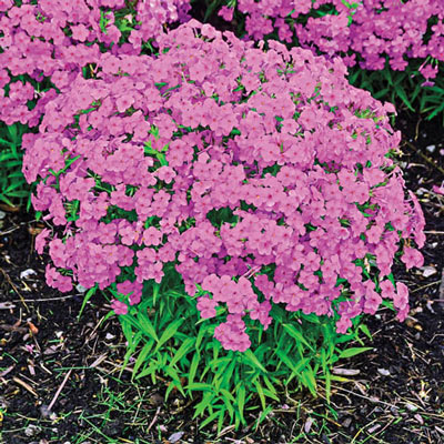Phlox Forever Pink