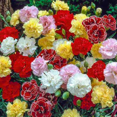 Border Carnation Mix
