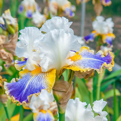 German Iris Wild Angel