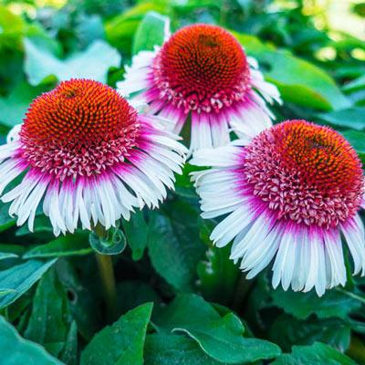 Echinacea Strawberry and Cream