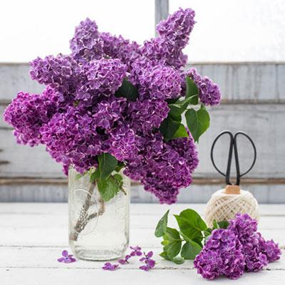 Old-Fashioned Lilac Jumbo Hedge