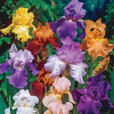 Tall Bearded Iris Mystery Bag