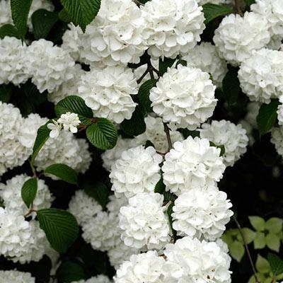 Snowball Viburnum Hedge