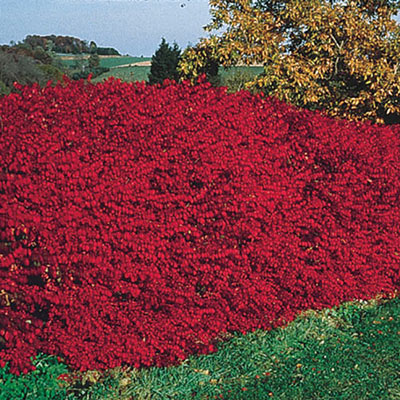Burning Bush Hedge