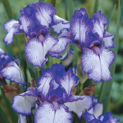 Reblooming German Iris Presby's Crown Jewel