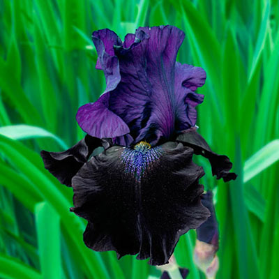 German Iris Midnight Treat