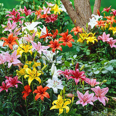 Asiatic Lily Mixed Crate
