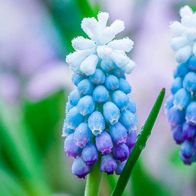 Muscari Sky Blue