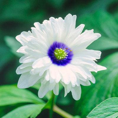 Blue Eyes Double-Flowered Wood Anemone
