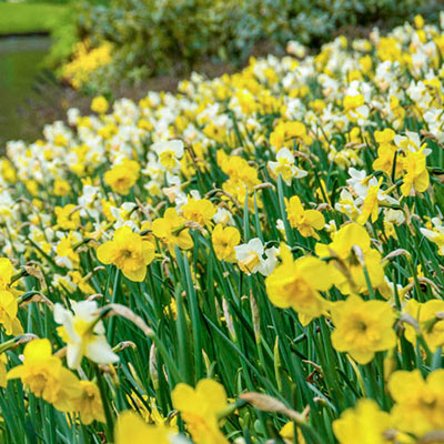 Mixed Daffodils for Naturalizing in growers bag