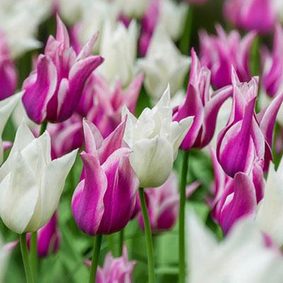 Pas de Deux Tulip Duet