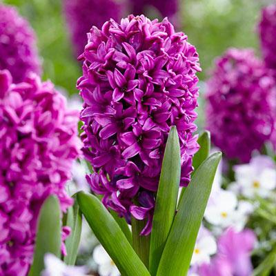 Hyacinth Miss Saigon