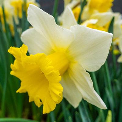 Trumpet Daffodil Cornish King