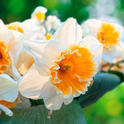 Large Cupped Daffodil Johann Strauss
