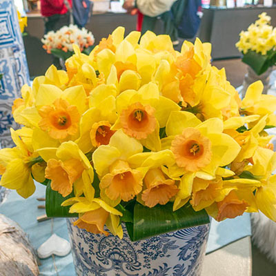 Large Cupped Daffodil Tom Pouce