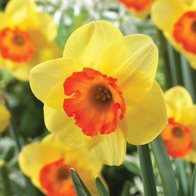 Small Cupped Daffodil Bantam
