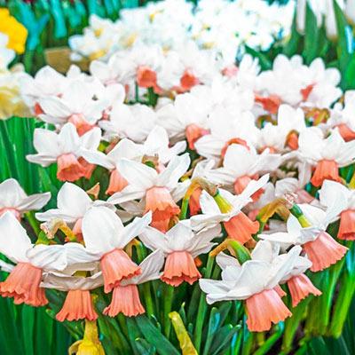 Cyclamineus Daffodil Iwona