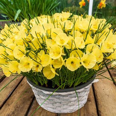 Hoop Petticoat Daffodil Julia Jane
