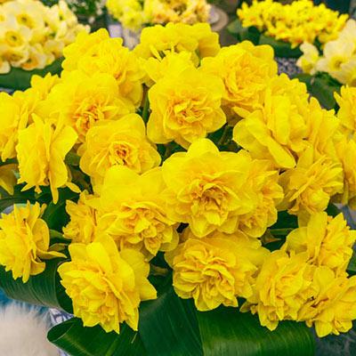 Double Daffodil Heamoor