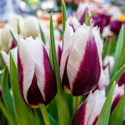 Triumph Tulip Rimini