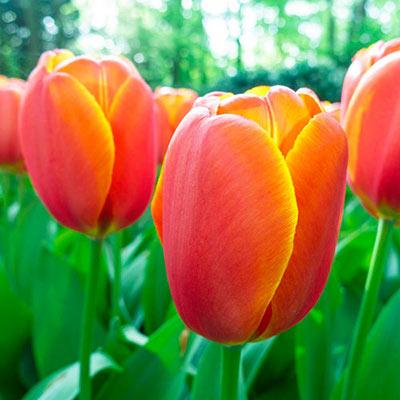 Darwin Hybrid Tulip Triple A