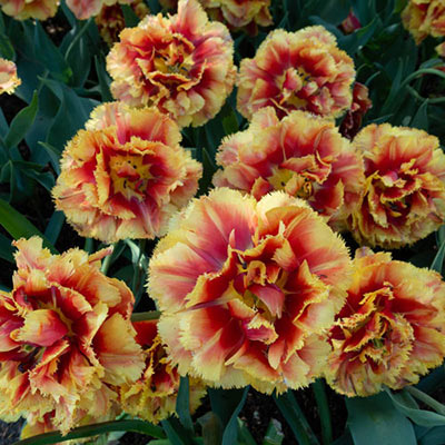 Double Fringed Tulip Dutch Pioneer