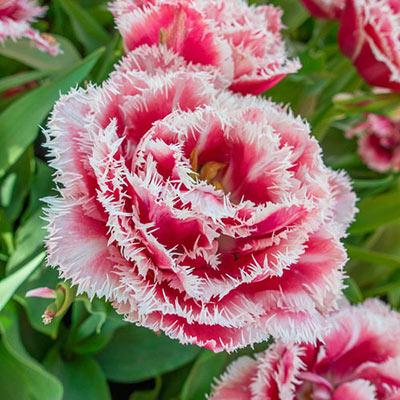 Double Fringed Tulip Brest