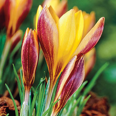 Species Crocus Cloth of Gold (angustifolius)