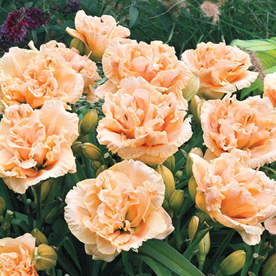 Reblooming Double Daylily Siloam Peony Display