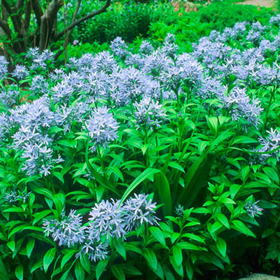 Amsonia Blue Ice (Blue Star)