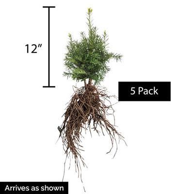 Yew Upright Hicksi Hedge