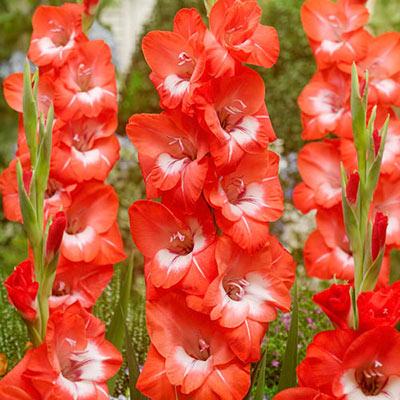 Gladiolus Pretty Guy