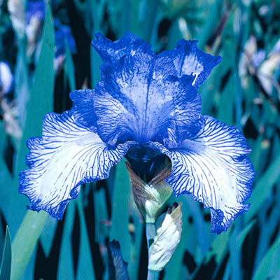 Autumn Circus Reblooming German Iris