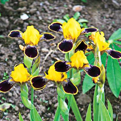 Bumblebee Deelite Dwarf German Iris
