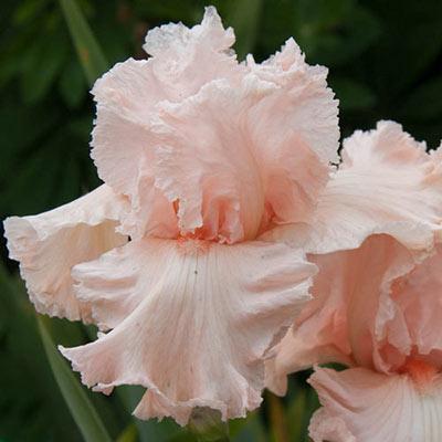 Flirtatious German Iris
