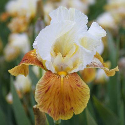 Honey Glazed German Iris