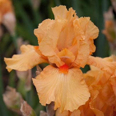 Maid of Orange German Iris