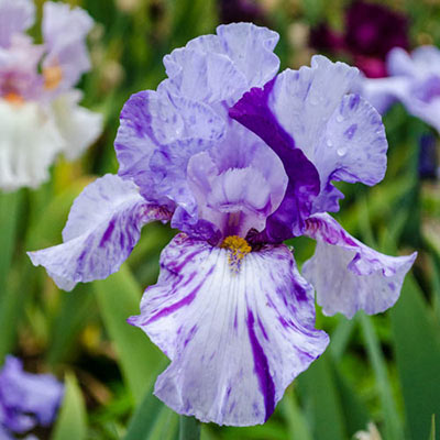 Shazam German Iris