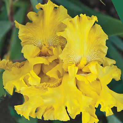 Spirit of Memphis Reblooming German Iris