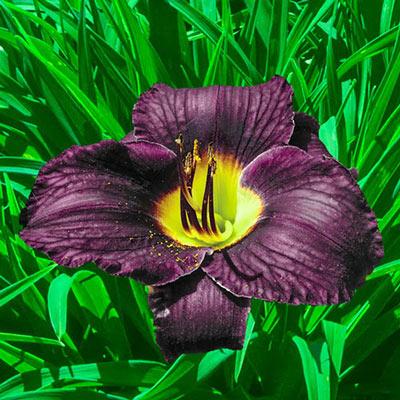 Reblooming Daylily Black Ambrosia