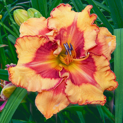 Daylily Pointed Perfection