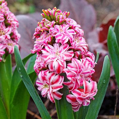 Double Hyacinth Eros