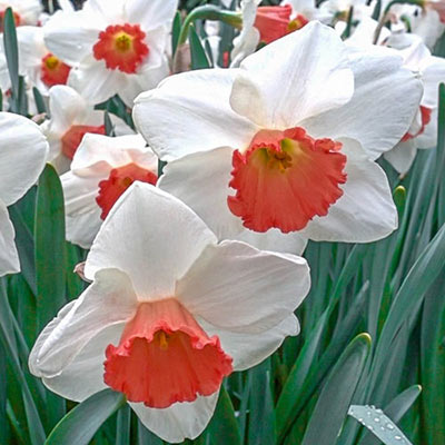 Large Cupped Daffodil Cool Flame