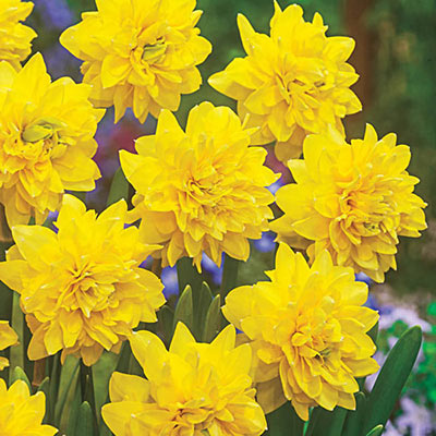 Double Daffodil Tete Boucle