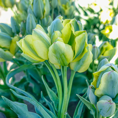 Multi-Flowering Viridiflora Tulip Serene Green